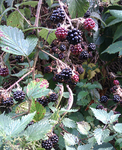 blackberries-Sep-2019.png